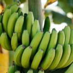 green-banana-bunch-in-a-vegetable-farm-f2